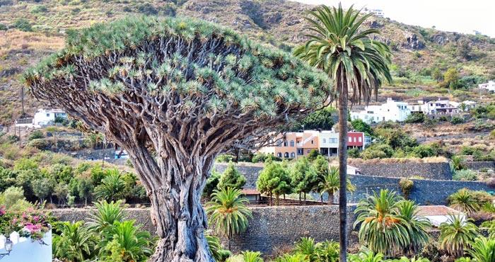 Drachenbaum,Teneriffa