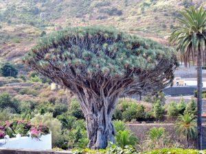 Drachenbaum in Icod de los Vinos, Teneriffa