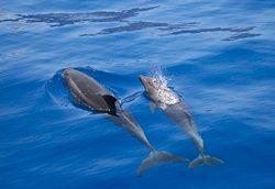 Delfine im Atlantik vor den kanarischen Inseln