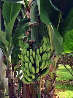 Noch grüne Bananenstaude