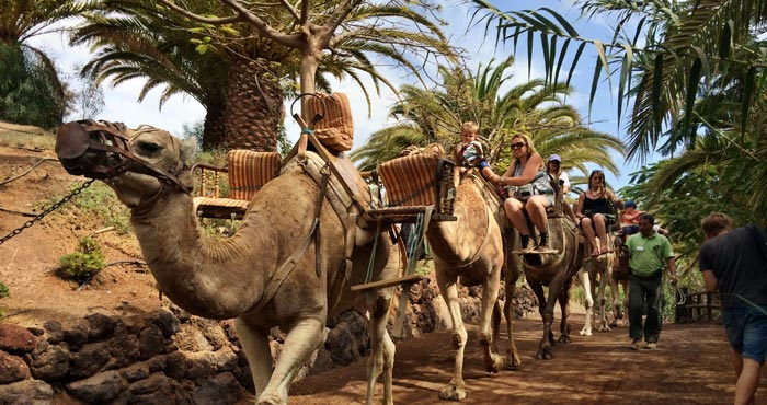Kamelsafari im Oasis Park auf Fuerteventura