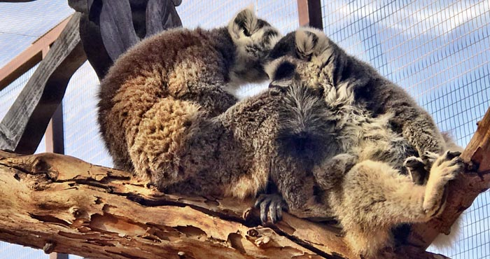 Lemuren im Oasis Park