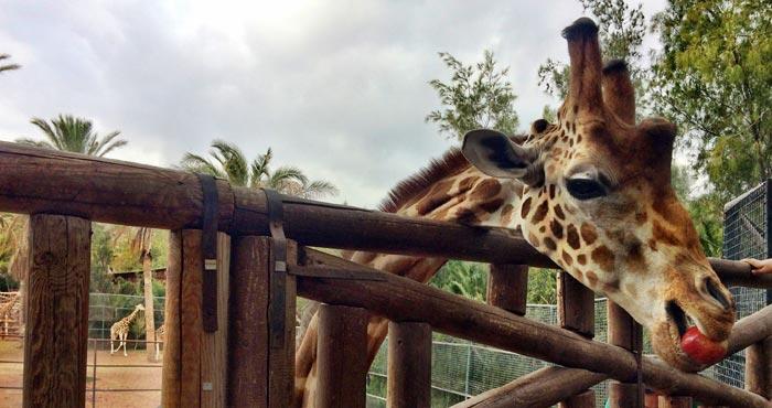 Giraffe im Oasis Park