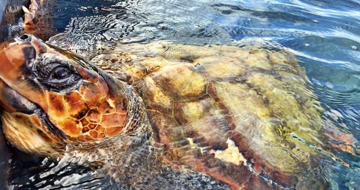Schildkröte in der Aufzuchtstation
