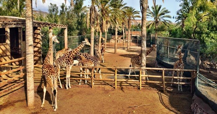 Giraffen im Oasis Park
